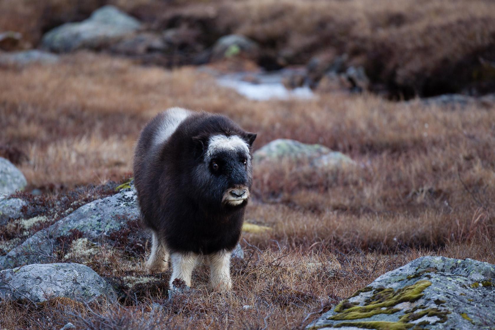 Boeuf musqué (Ovibos moschatus) jeune dans le parc national de Dovrefjell