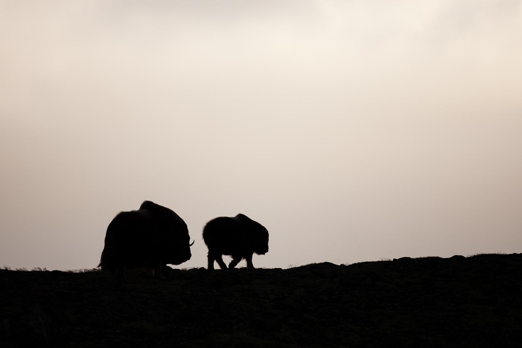 Boeuf musqué (Ovibos moschatus) femelle et son jeune dans le parc national de Dovrefjell