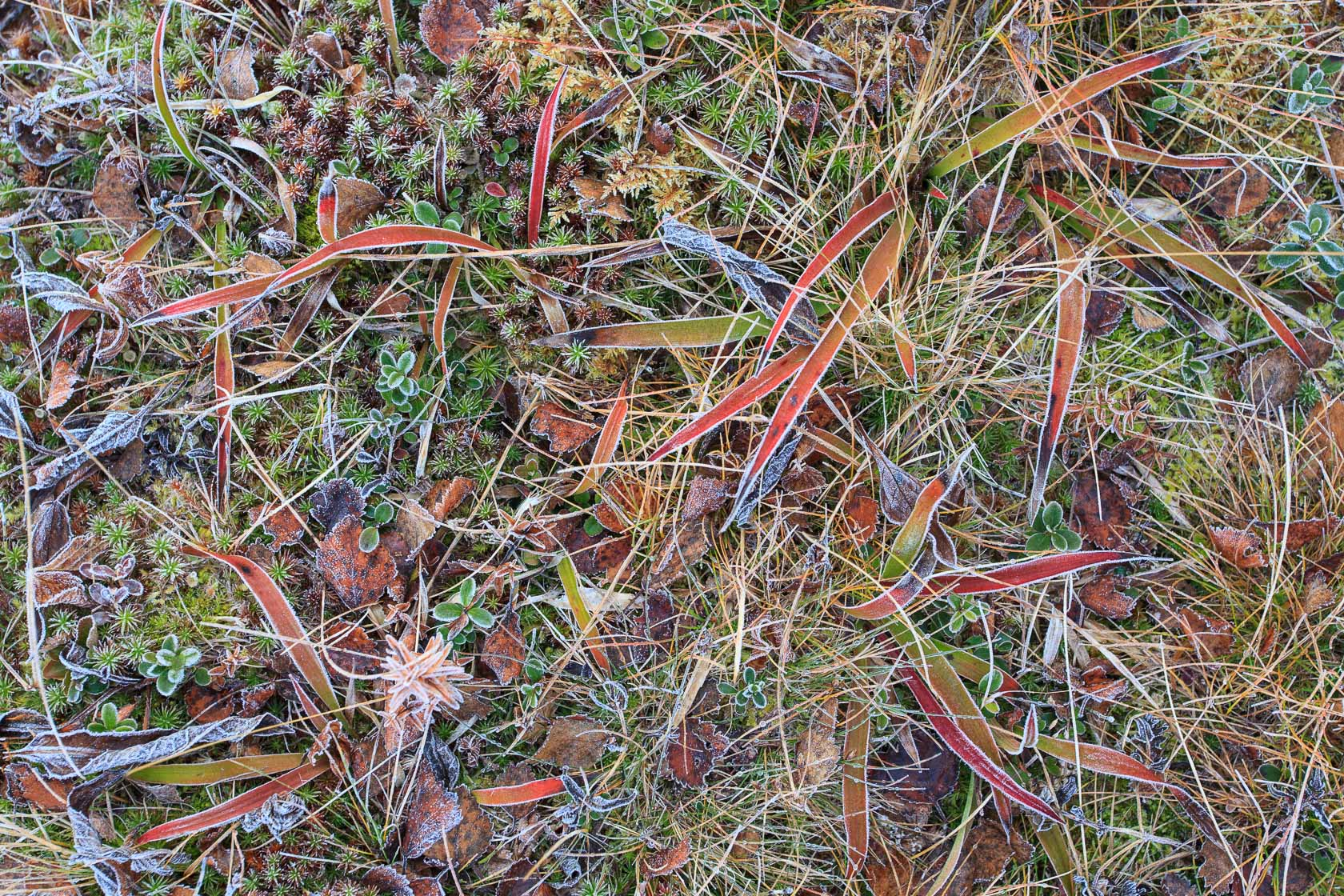 Végétation gelée dans le Dovrefjell en Norvège