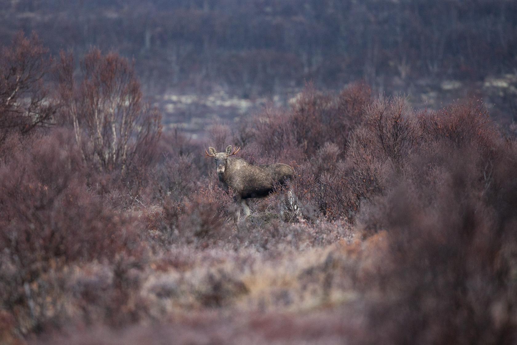 élan (Alces alces) dans la réserve naturelle de Fokstumyra en Norvège