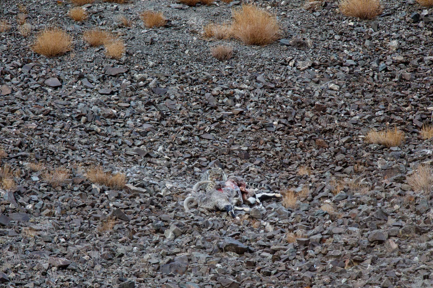 panthère des neiges (Panthera uncia) sur sa proie, un bharal (Pseudois nayaur), au ladakh, en Inde