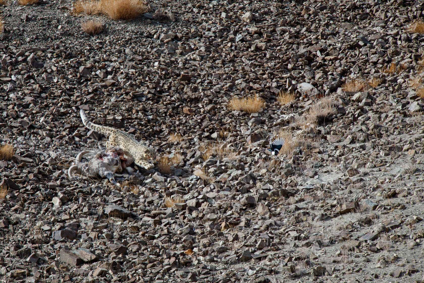 panthère des neiges (Panthera uncia) défendant sa proie, un bharal (Pseudois nayaur), au ladakh, en Inde