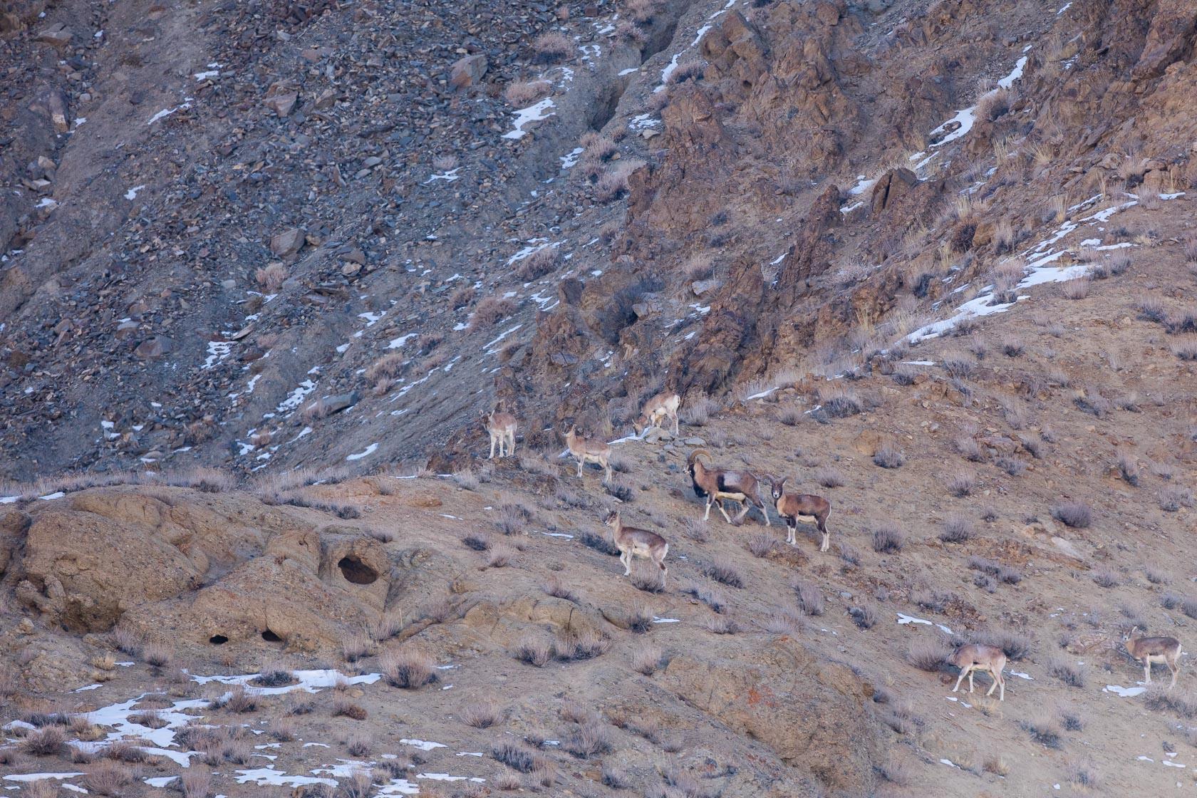Urial du Ladakh (Ovis vignei) dans la vallée du Sham, au ladakh, en Inde