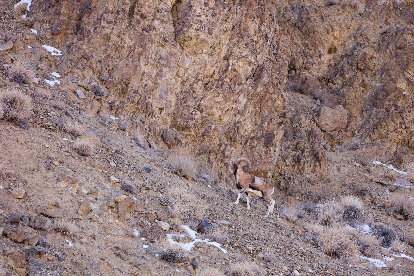 Urial du Ladakh male (Ovis vignei) dans la vallée du Sham, au ladakh, en Inde