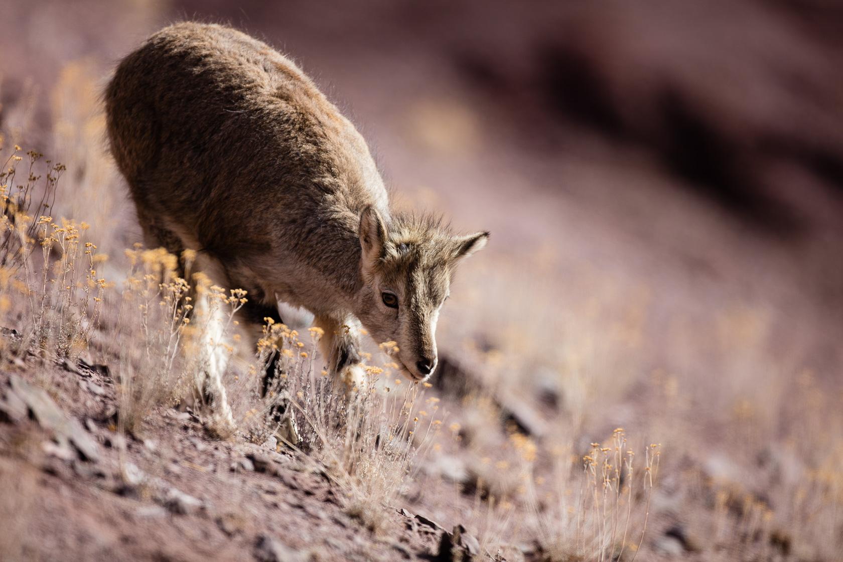 jeune bharal (Pseudois nayaur) au Ladakh, en Inde