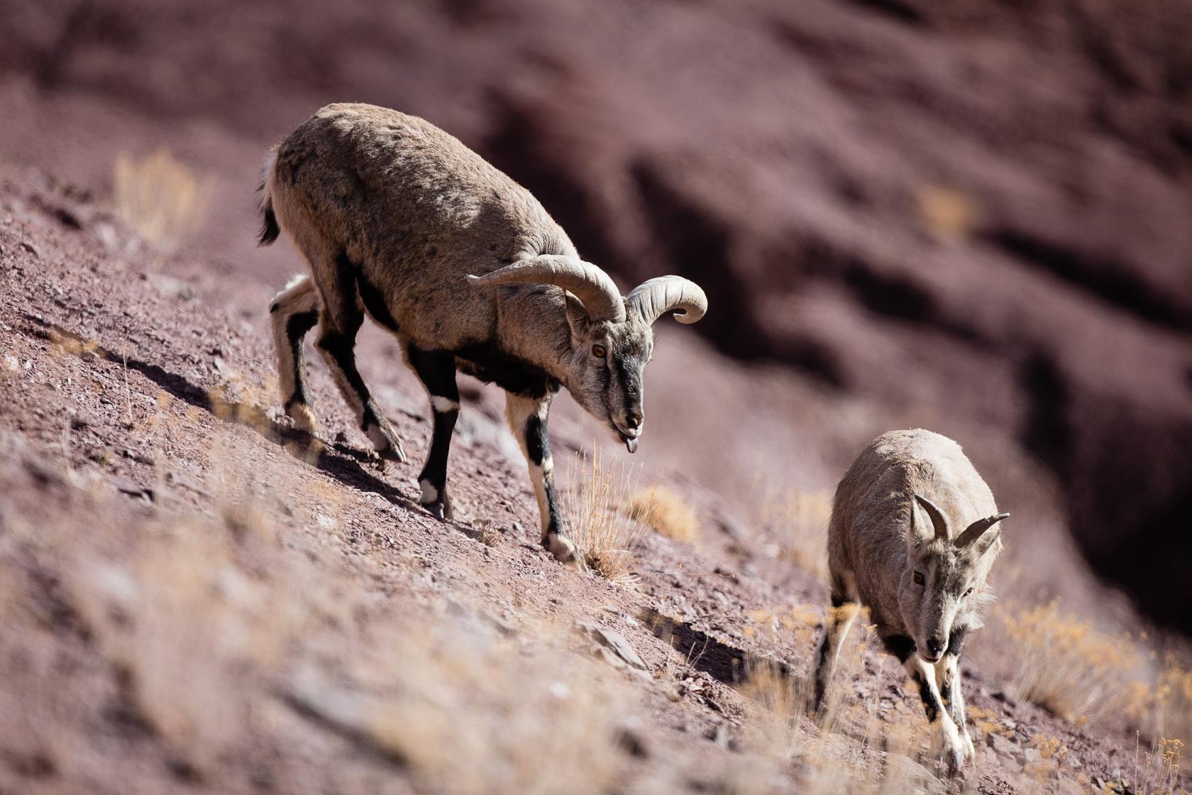 comportement de flehmen chez le bharal male en présence d'une femelle, au Ladakh