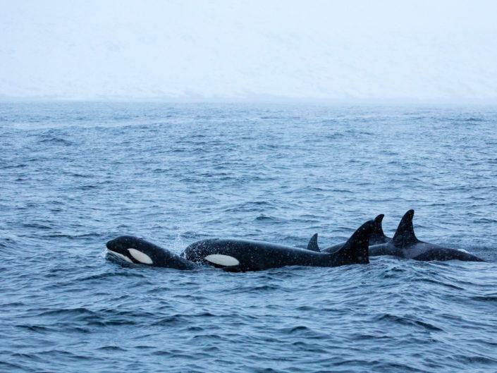 Orques & aurores boréales