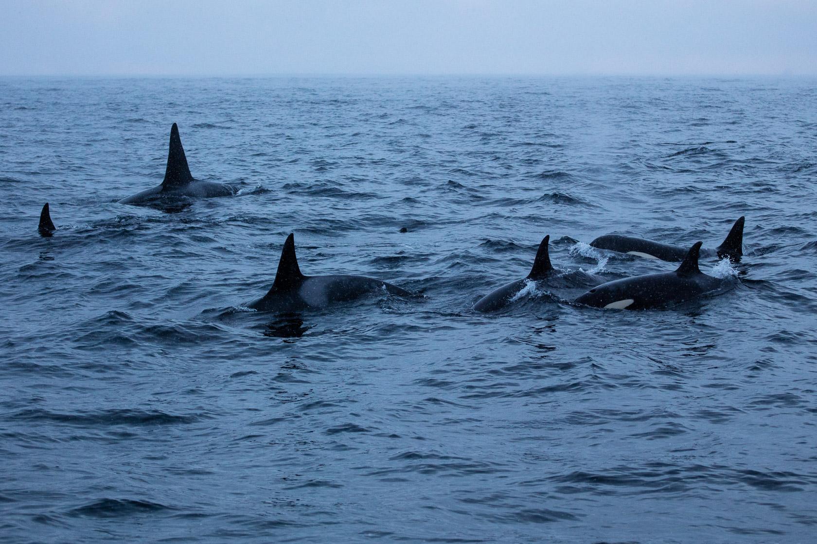 famille d'orques (Orcinus orca) au large de Senja, en Norvège