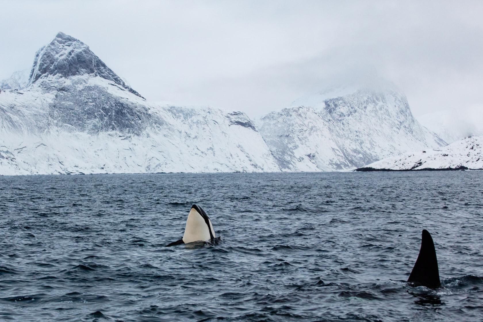 Orques ((Orcinus orca) dans un fjord de Senja, pendant un voyage photo en Norvège