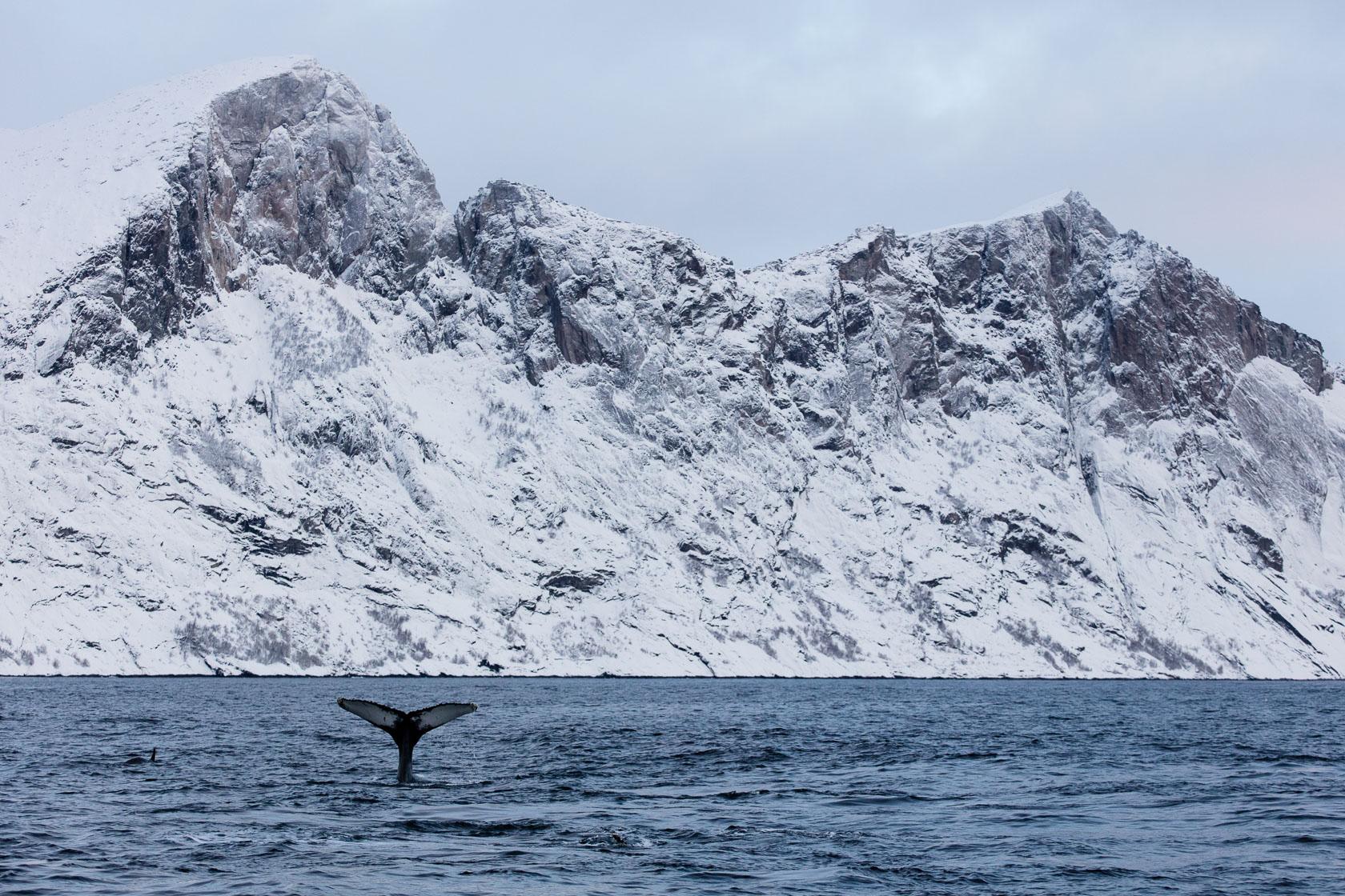 Baleine à bosses (Megaptera novaeangliae) dans un fjord de Senja, durant un voyage photo en Norvège