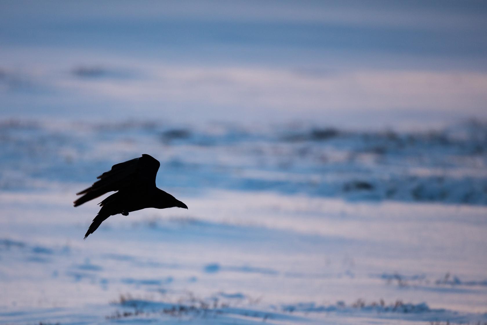 Grand corbeau (Corvus corax) dans le Dovrefjell