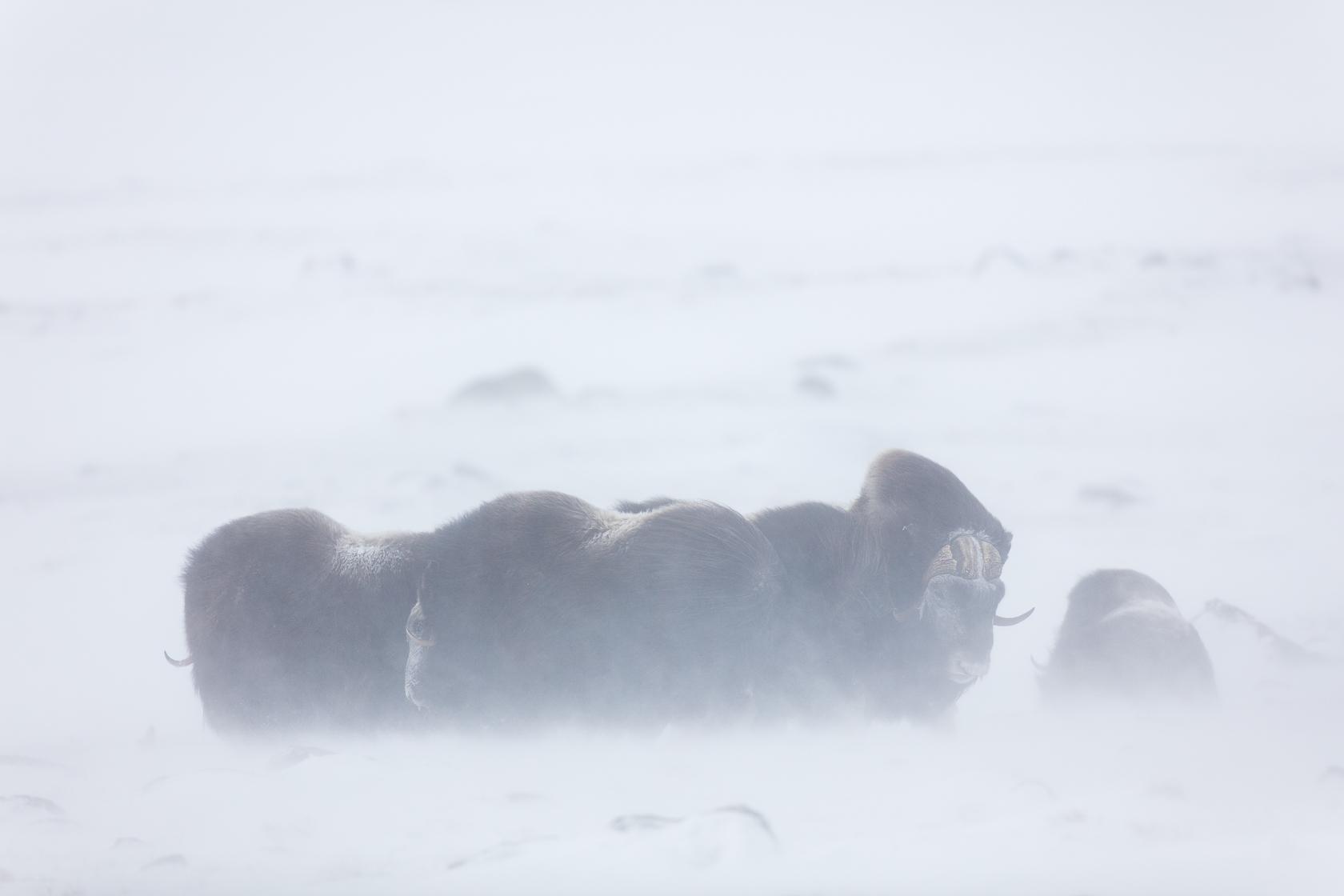 groupe de boeufs musqués dans la neige