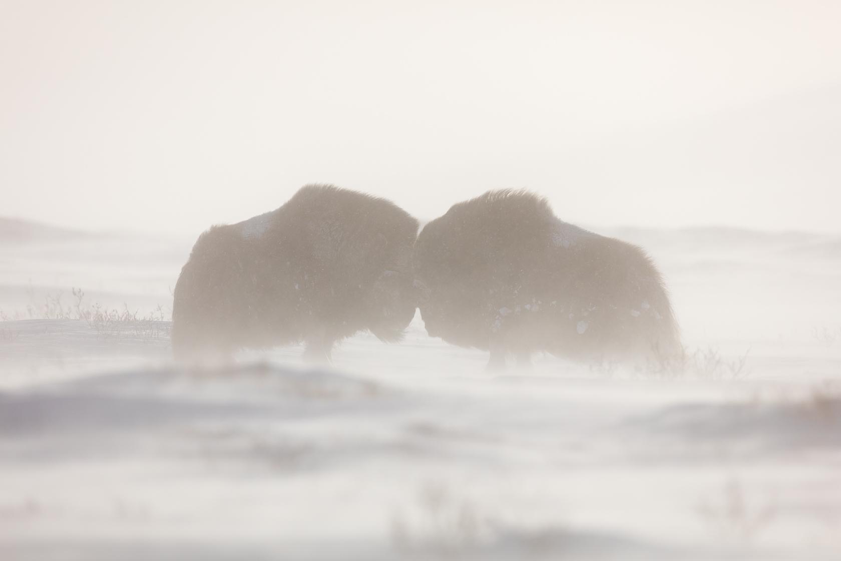 combat de boeufs musqués (Ovibos moschatus) dans le Dovrefjell
