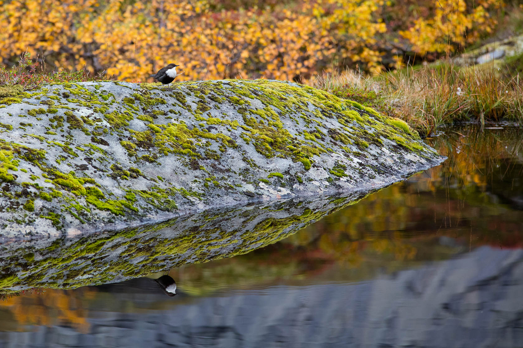 Cincle plongeur (Cinclus inclus) sur l'itinéraire de la randonnée de Munkebu, dans les îles Lofoten, en Norvège