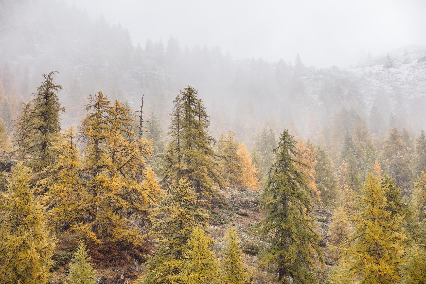 Forêt de mélèzes (Larix decidua) à Névache, dans les Hautes Alpes