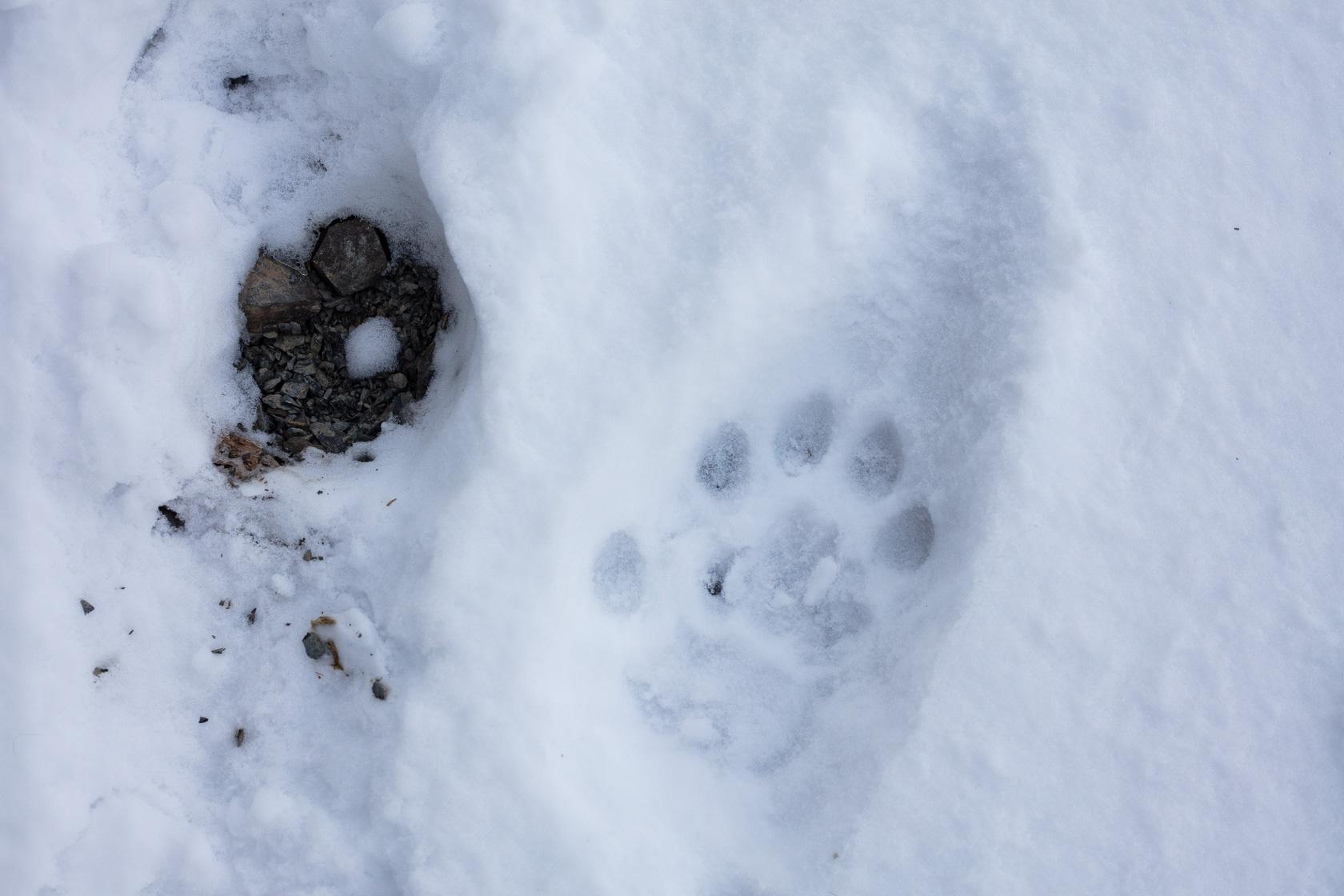 empreinte de panthère des neiges dans la neige fraîche, au ladakh en Inde
