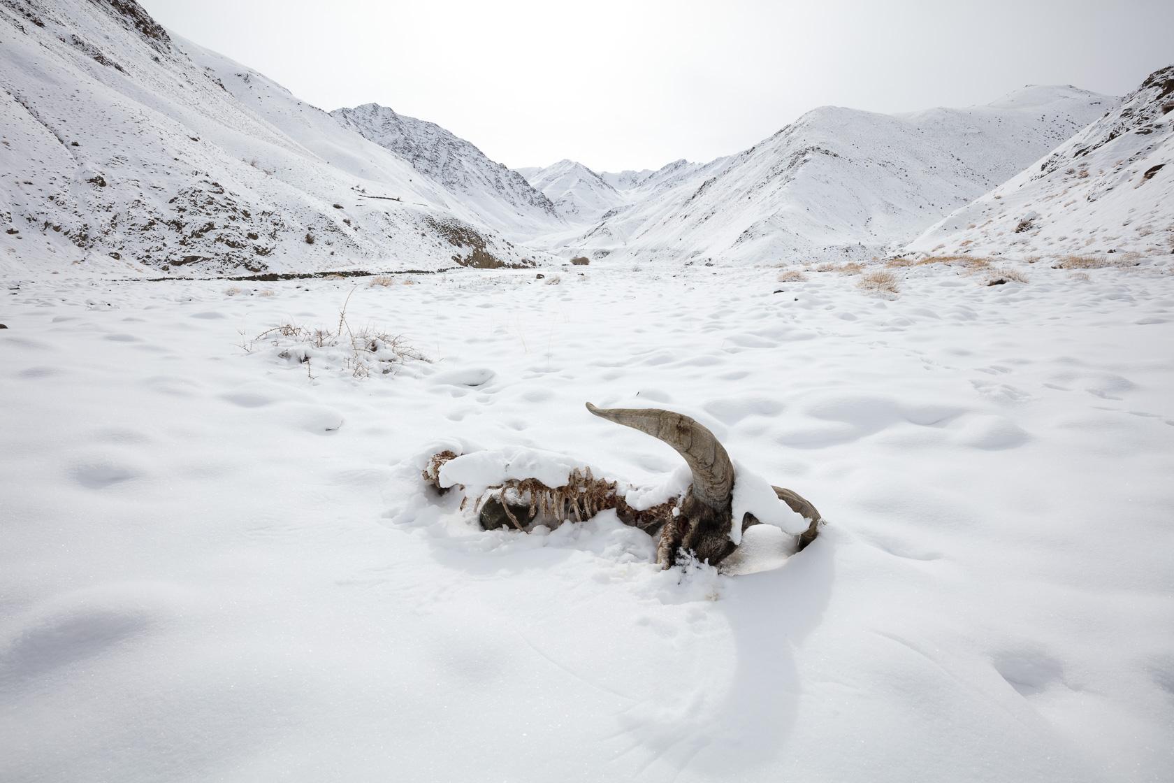 carcasse de male bharal (Pseudois nayaur) prédaté par des loups, Ladakh Inde