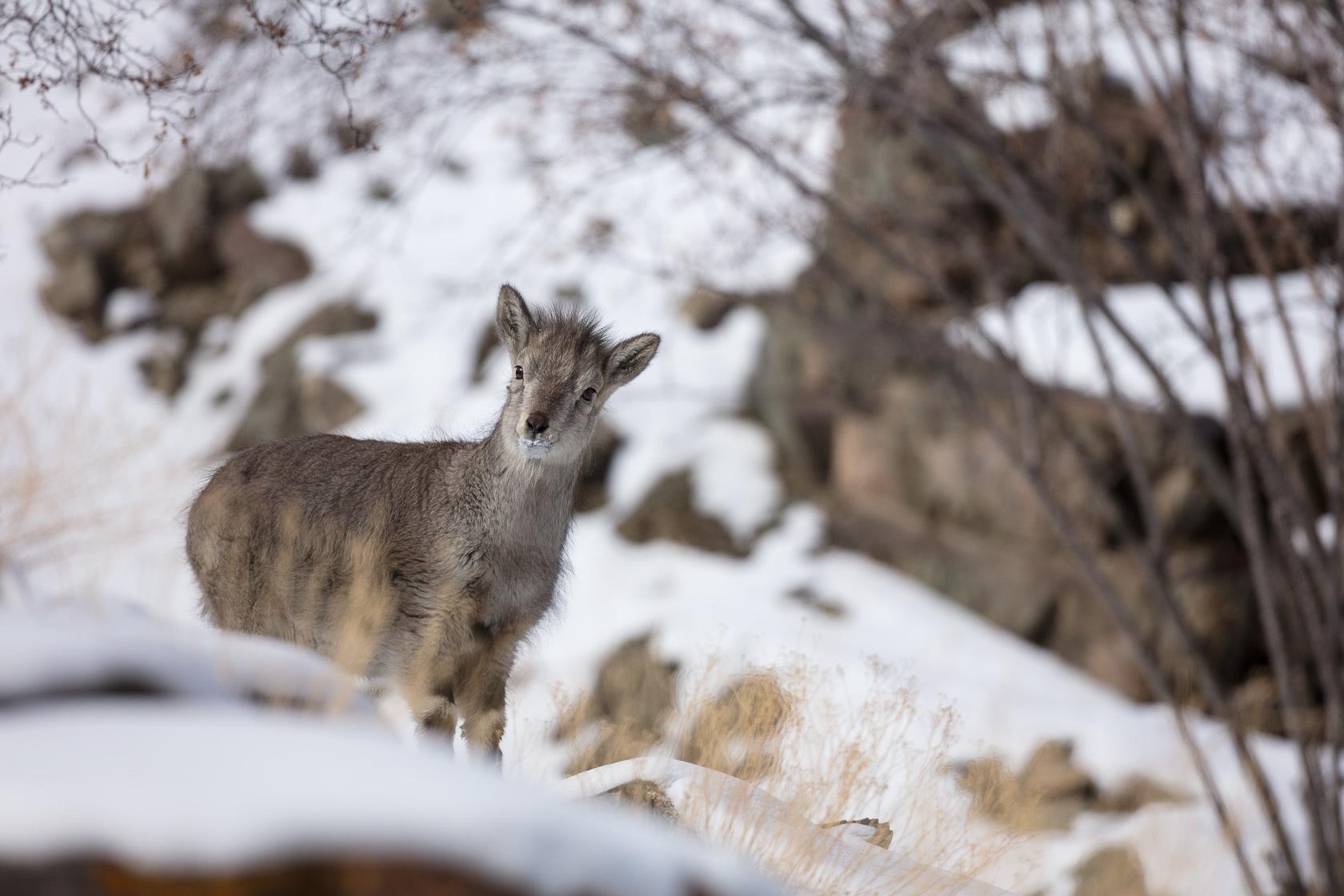 Jeune bharal (Pseudois nayaur) dans la vallée de Rumbak au ladakh