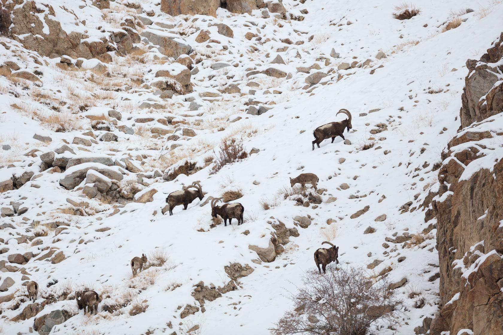Bouquetin de l'Himalaya (Capra ibex sibirica) à Ulley, dans les montagnes du Ladakh