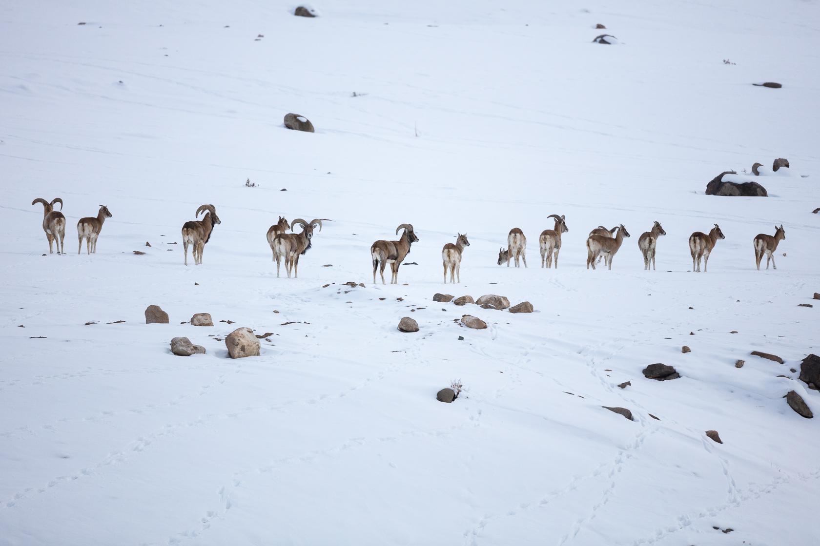 troupeau d'urials du Ladah (Ovis vignej) dans la neige, au ladakh, en Inde