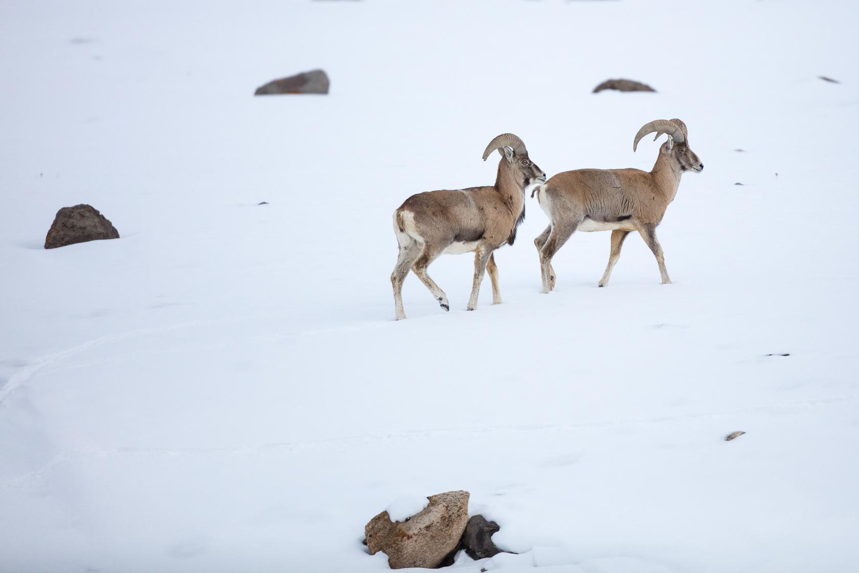 deux males d'urials du Ladakh au Ladakh dans l'Himalaya en Inde