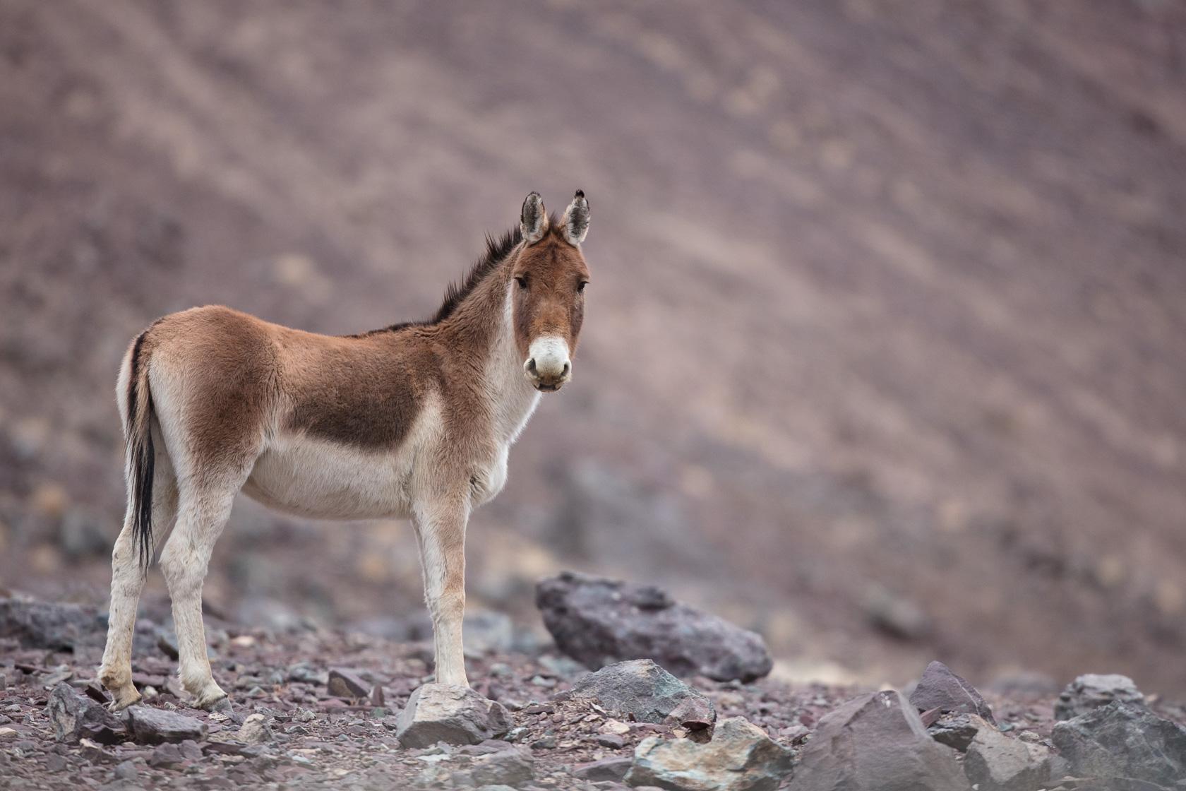 Kiang femelle (Equus kiang) dans la haute vallée de l'indus, au Ladakh