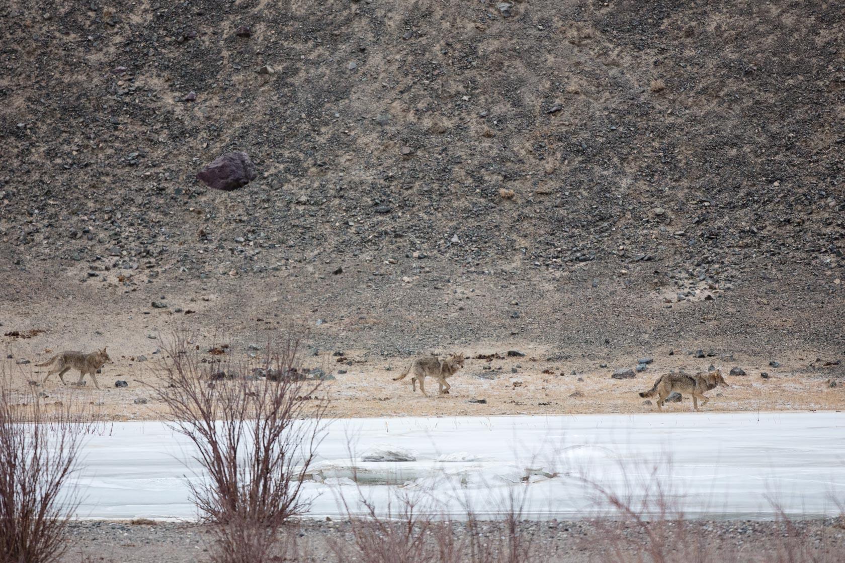 meute de loups du Tibet (Canis lupus shanku) dans la haute vallée de l'Indus au Ladakh