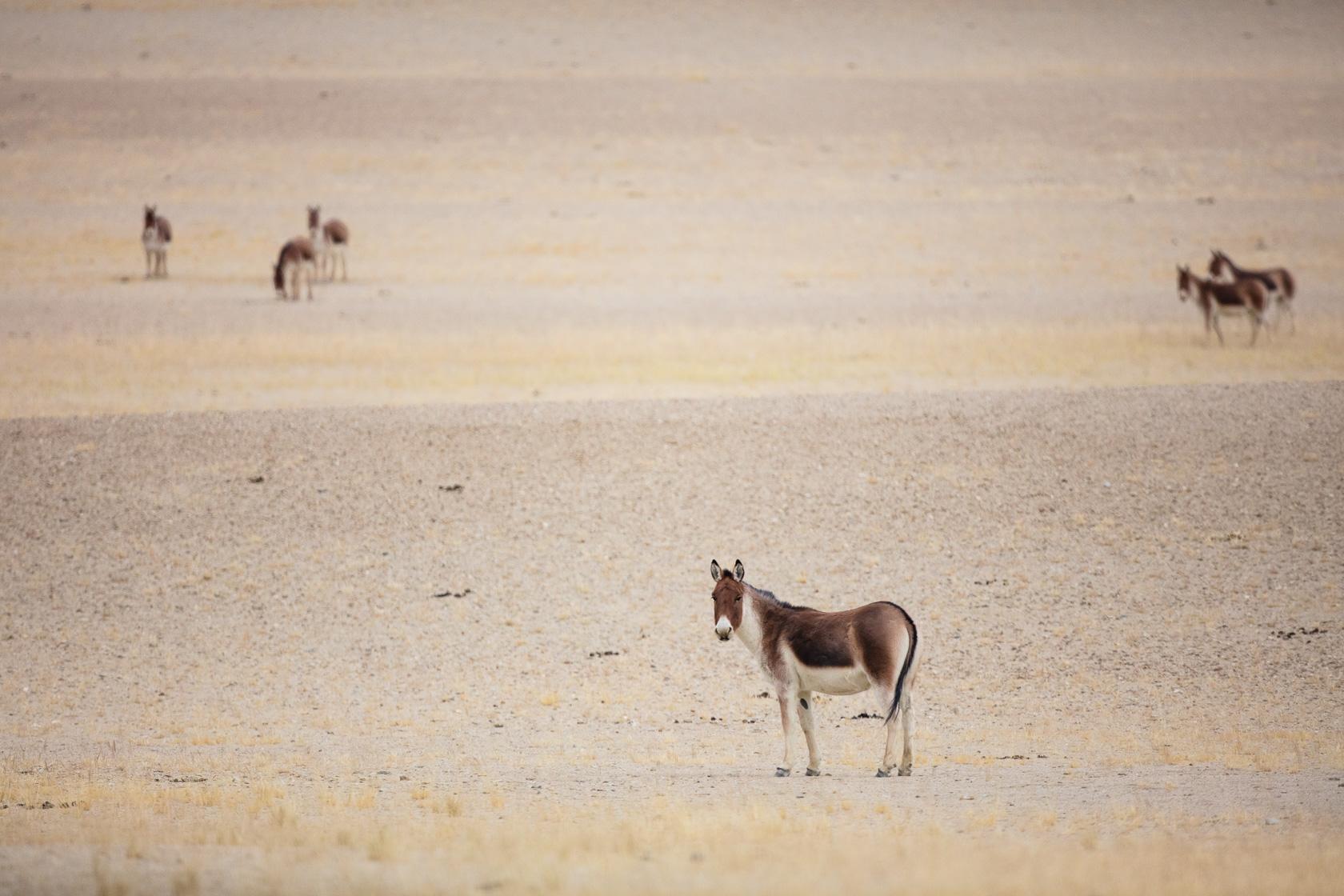 Kings (Equus kiang) dans le bassin du Tso Kar,au Ladakh