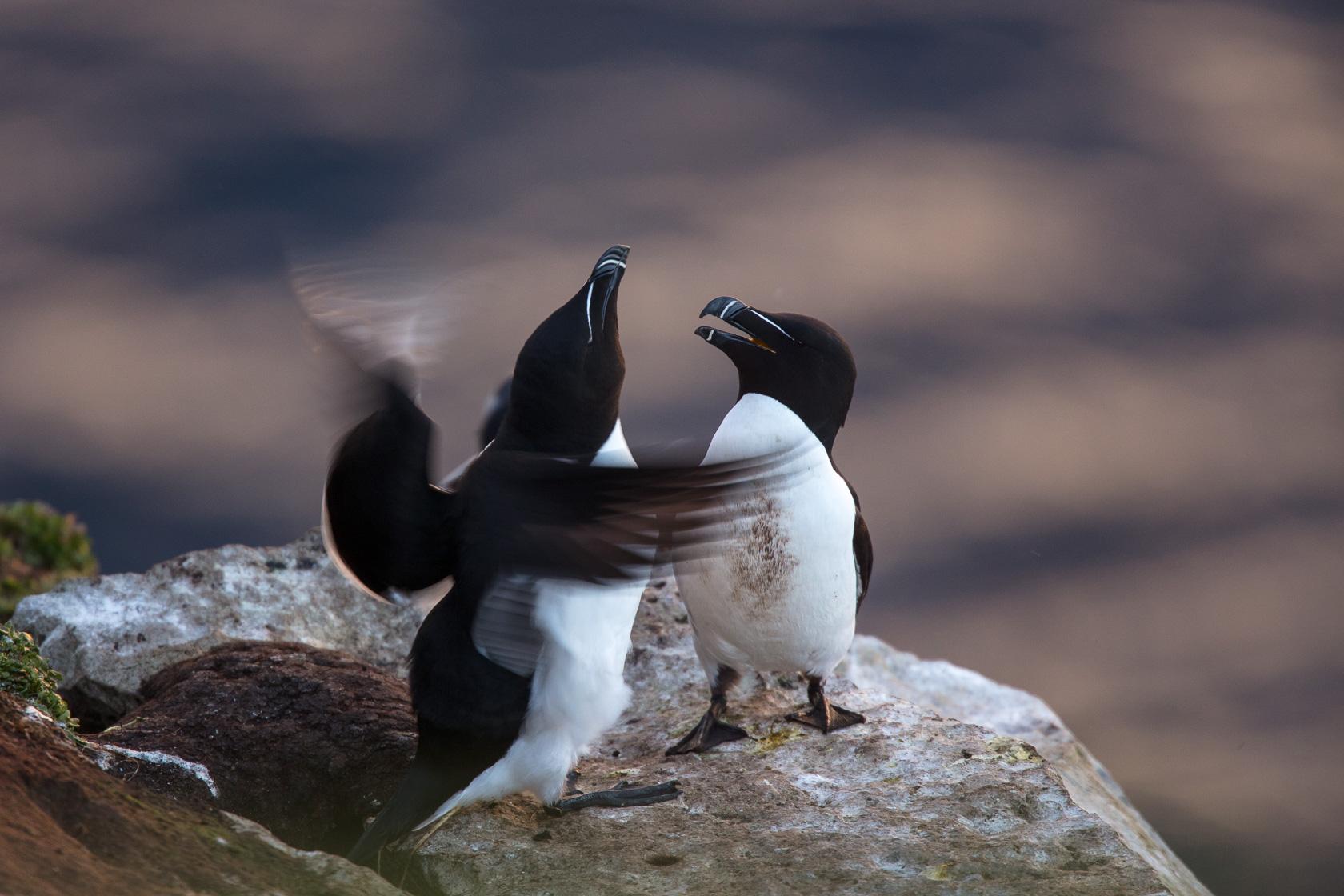 parade nuptiale de Pingouin torda (Alca torda) sur l'île d'Hornøya, en Norvège