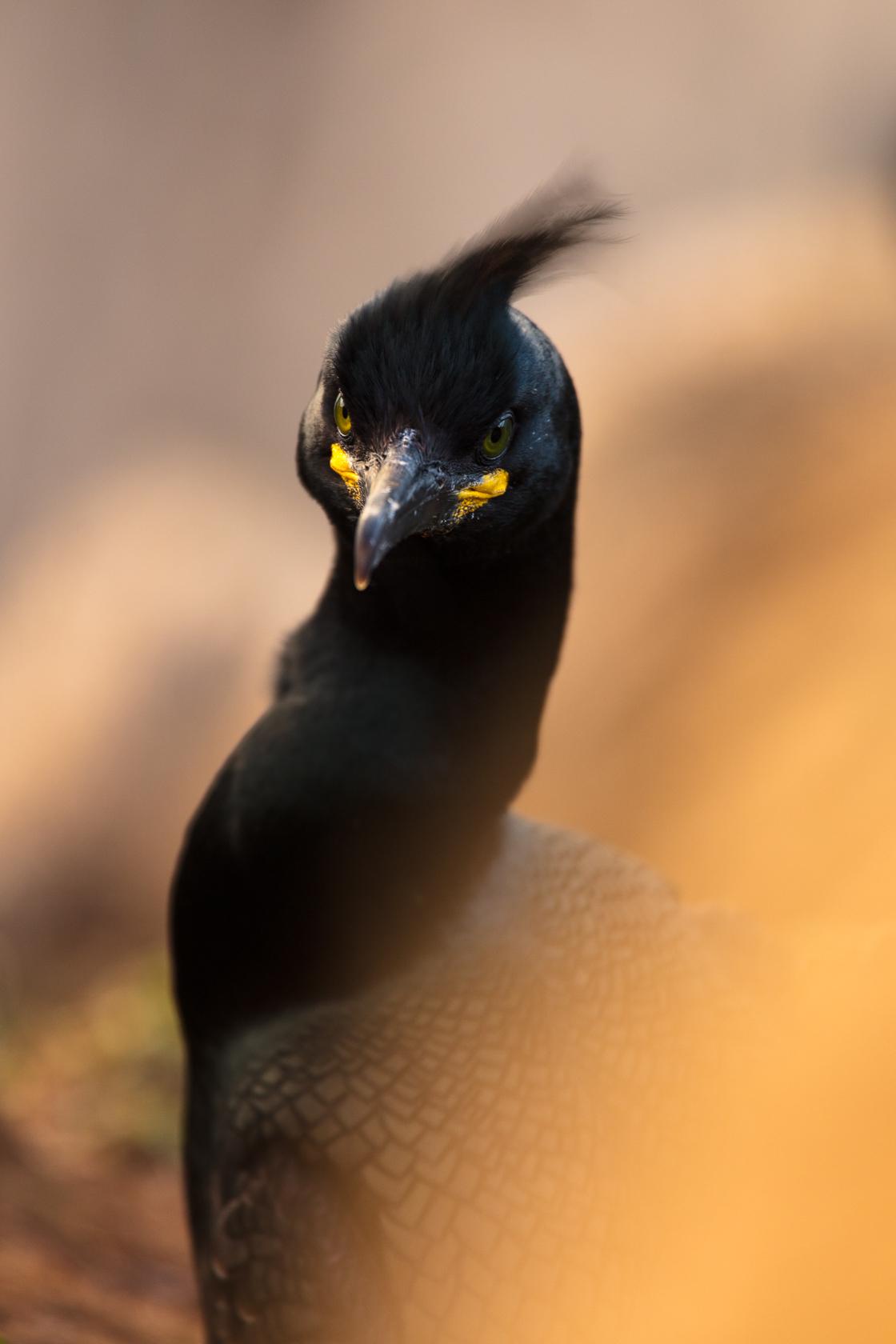 Cormoran huppé (Phalacrocorax aristotelis) sur l'île d'Hornøya, en Norvège