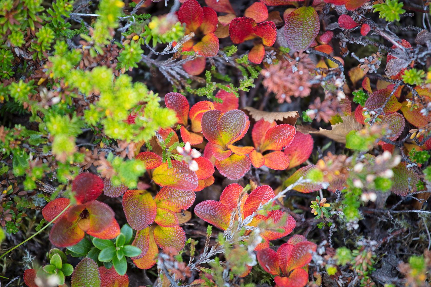 détail des feuilles de la toundra en automne, dans les îles Lofoten, en Norvège