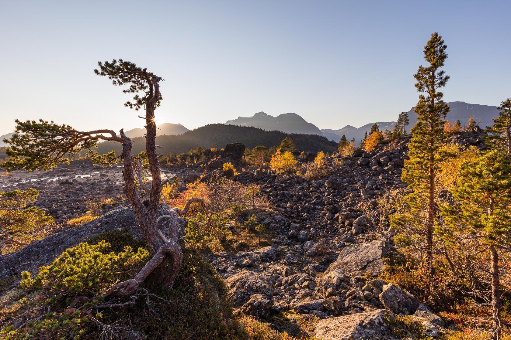 forêt pionnière sur une moraine glaciaire dans les Alpes de Lyngen en Norvège