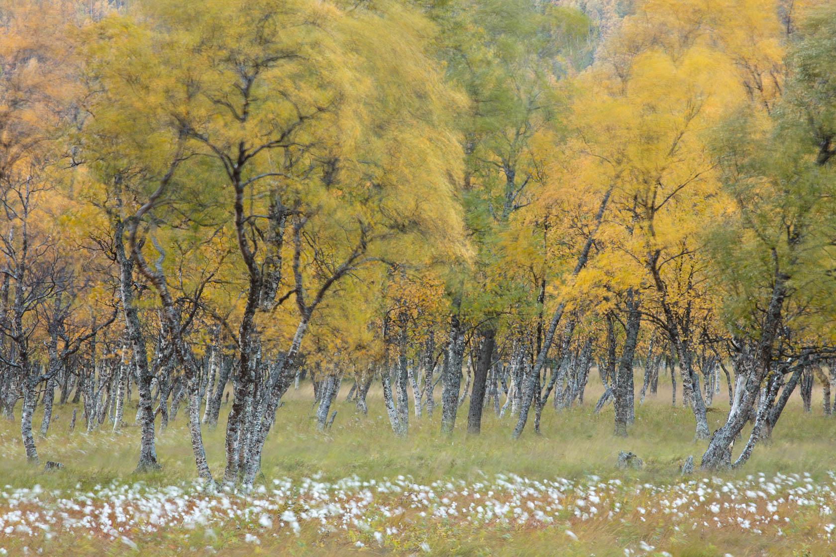 forêt boréale de bouleau en automne, agitée par le vent, dans le nord de la Norvège, pendant la ruska en voyage photo des Lofoten aux Alpes de Lyngen