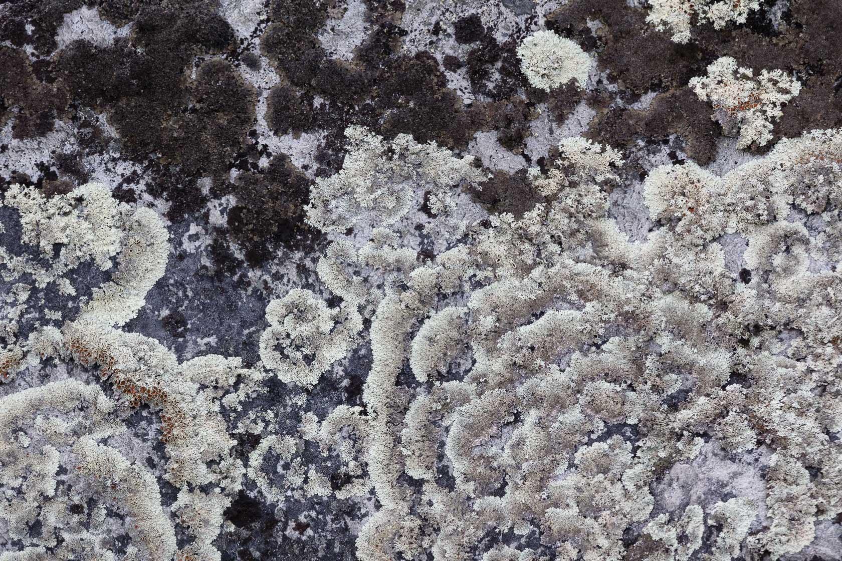 lichens sur un rocher dans le parc de Dovrefjell