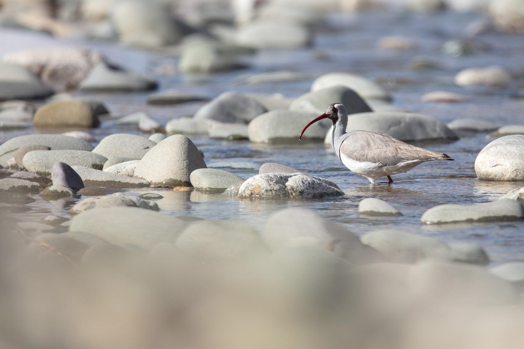 Bec d'ibis tibétain (Ibidorhyncha struthersii) sur les rive de l'Indus, au Ladakh