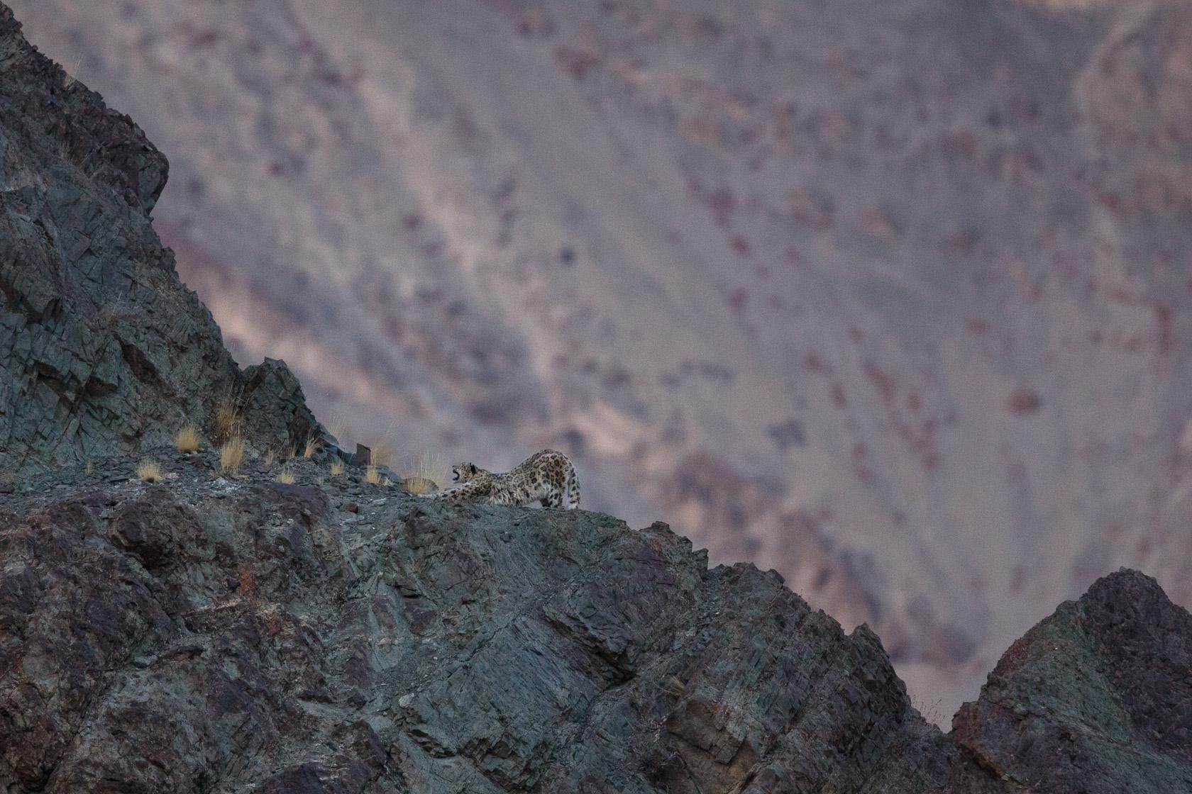 panthère des neiges (Panthera uncia) s'étirant après la sieste, au Ladakh, en Inde