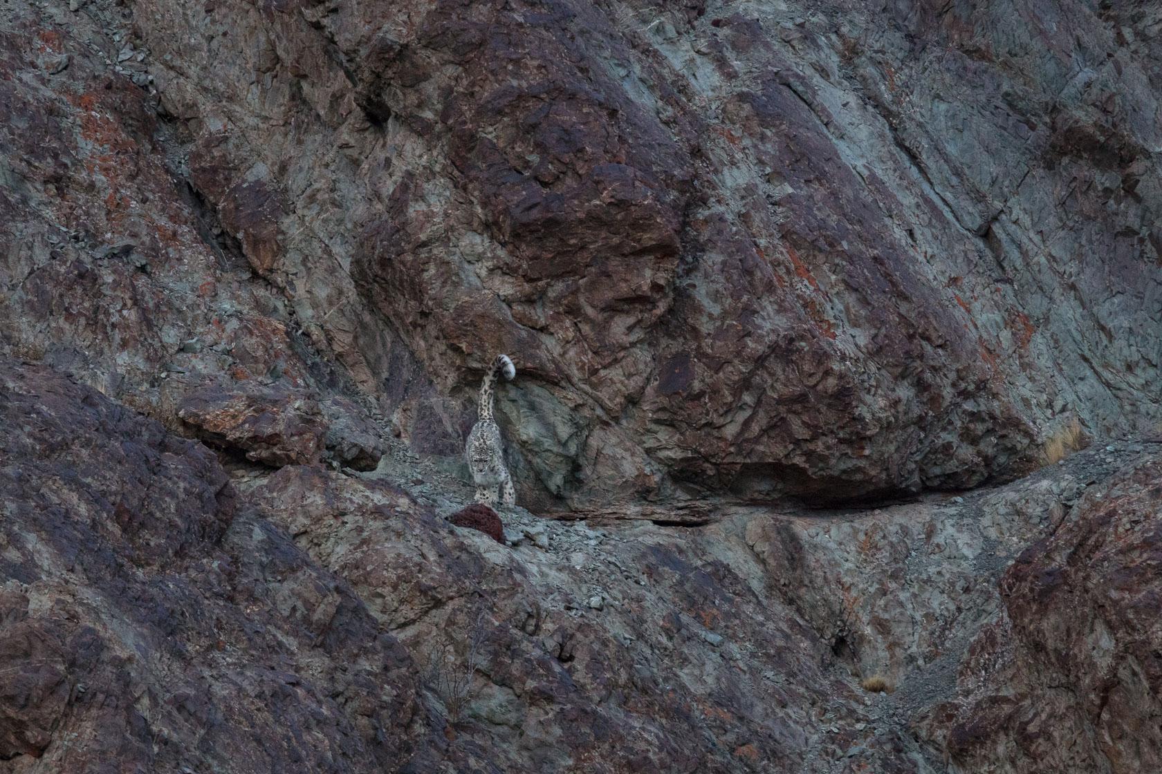 panthère des neiges (Panthera uncia) marquant son territoire au Ladakh