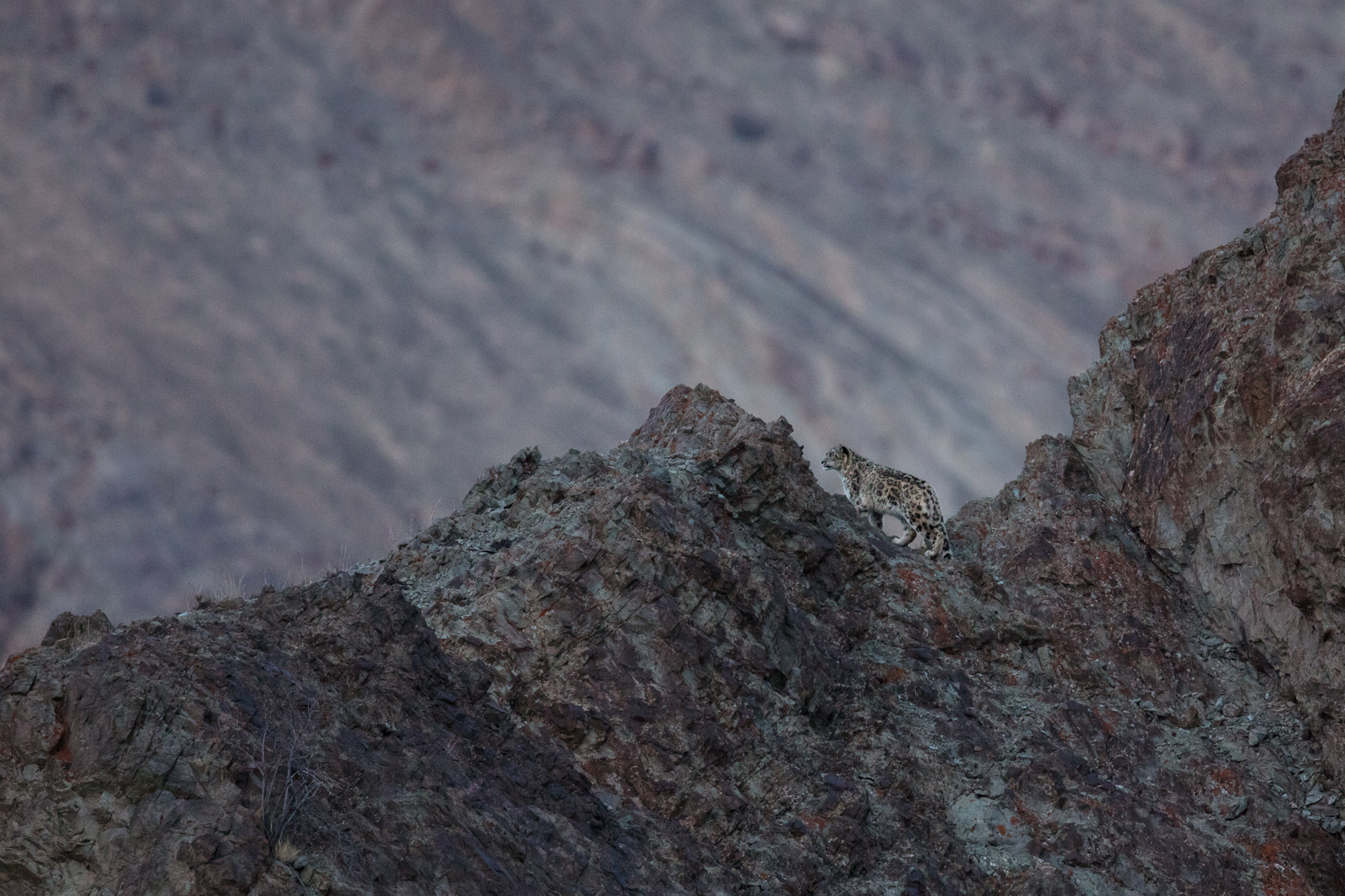Panthère des neiges (Panthera uncia) sur une crête au Ladakh