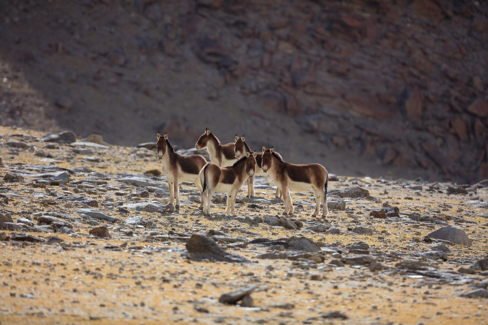 Kiangs (Equus kiang) près du Tso Kar, au Ladakh