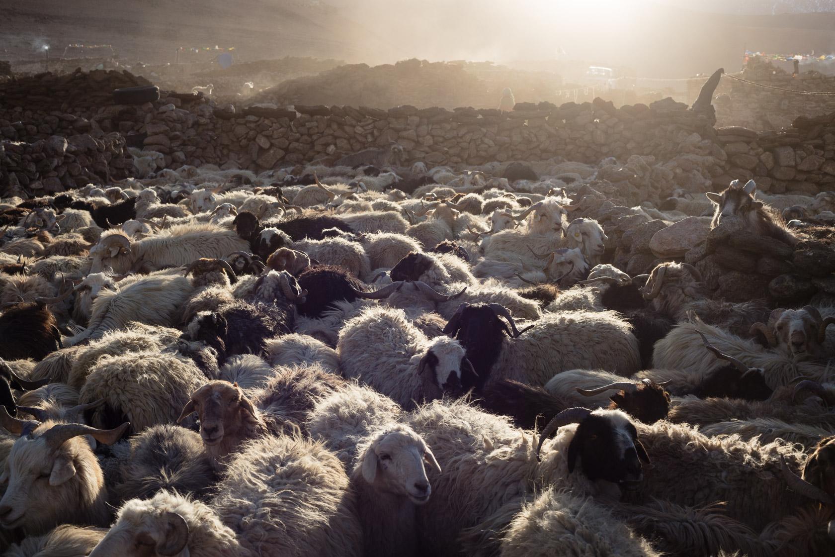 troupeau de chèvres pashmina près du Tso Kar, au Ladakh
