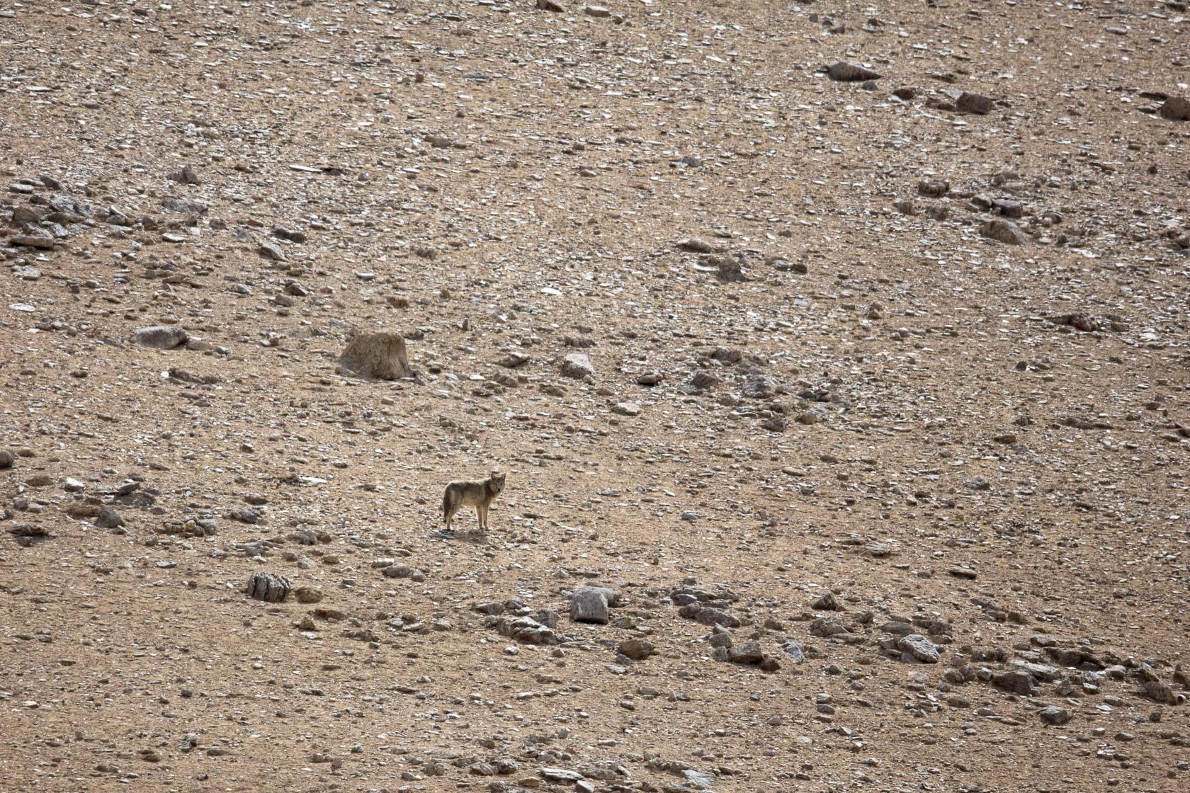 loup du Tibet (Canis lupus shanku) près du Tso kar au Ladakh