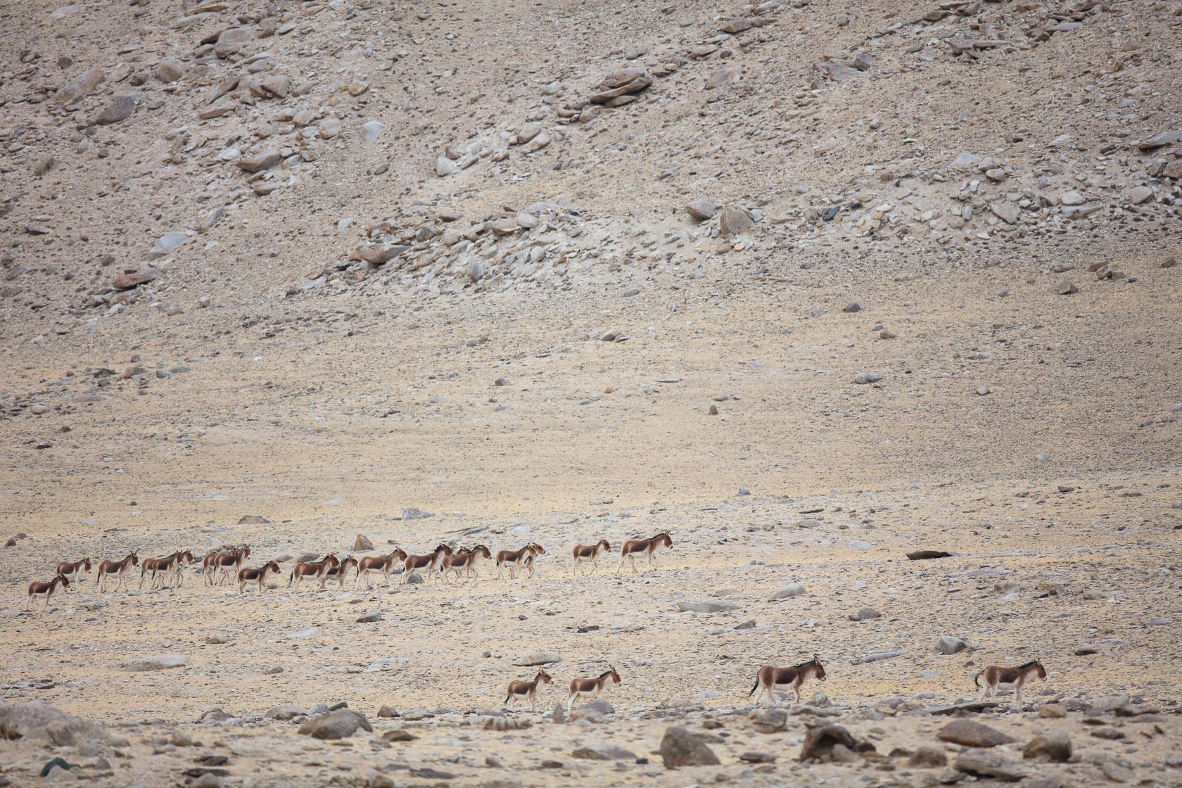troupeau de kiangs (Equus kiang) près du Tso Kar au Ladakh