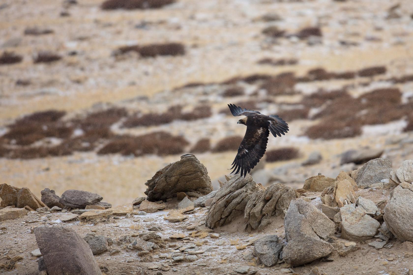 Aigle royal (Aquila chrysaetos) près du Tso Kar au ladakh