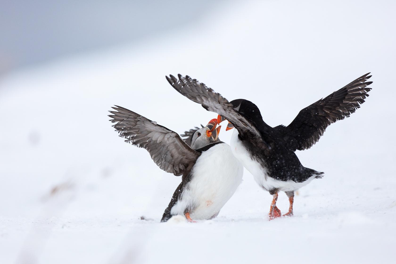 combat de macareux moine (Fratercula arctica) sur l'île d'Hornøya