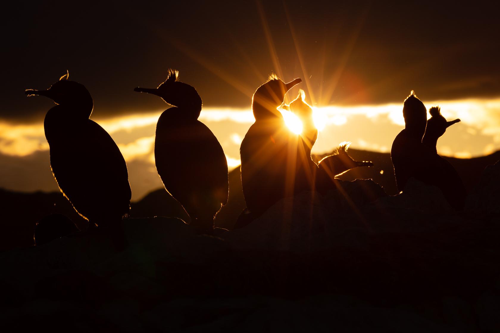 Cormorans huppés (Phalacrocorax aristotelis) sous le soleil de minuit sur l'île d'Hornøya en Norvège