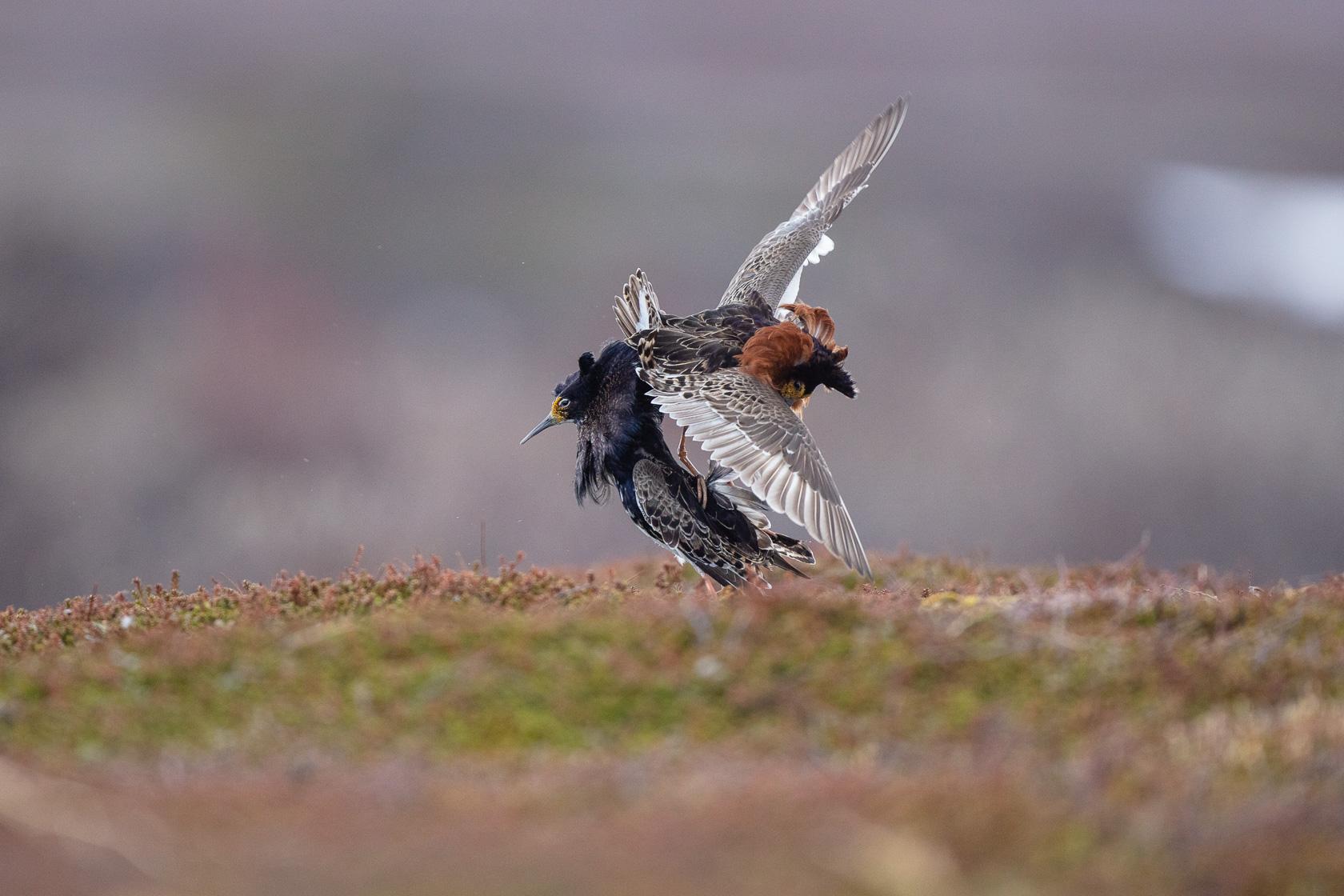 deux mâles de combattants variés (Philomachus pugnax) se battent sur un lek dans le Varanger, en Norvège