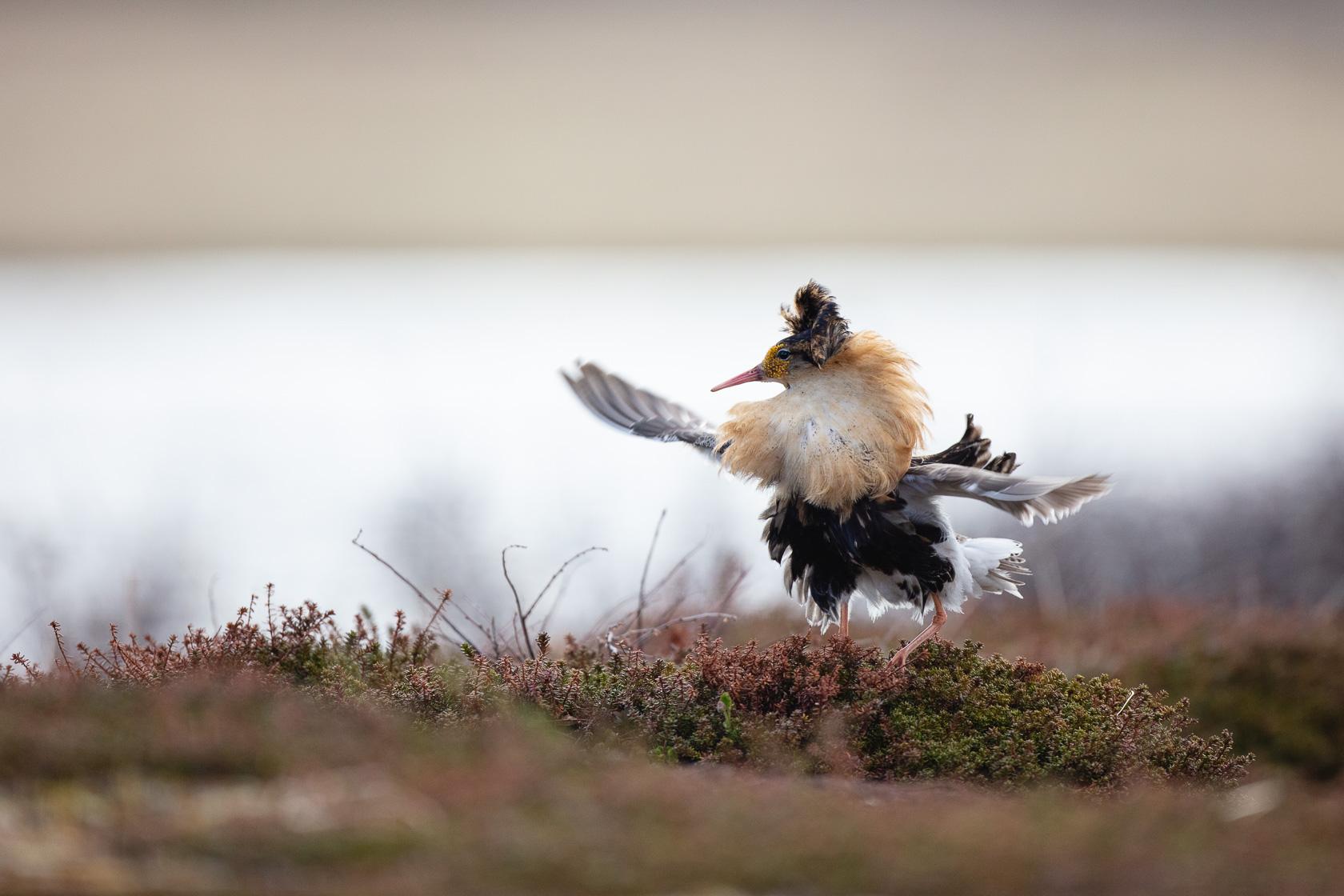 combattant varié mâle (Philomachus pugnax) sur un lek dans le Varanger en Norvège