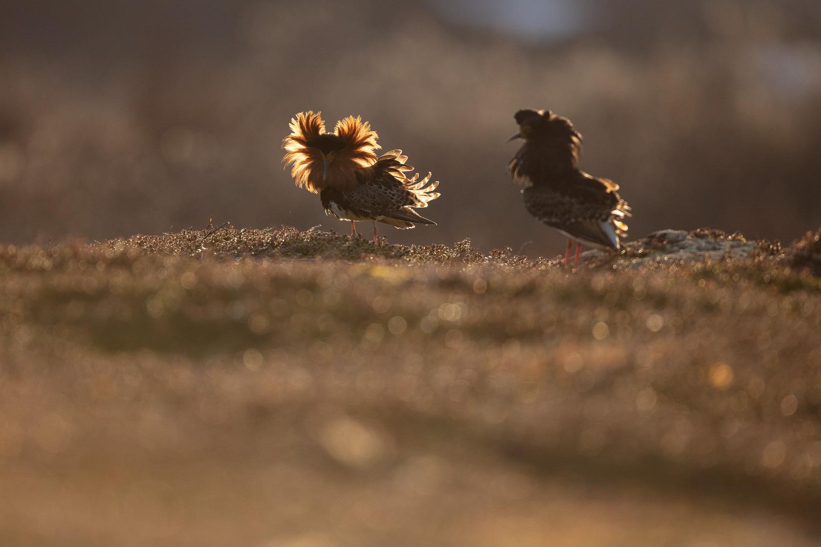 deux mâles de combattants variés (Philomachus pugnax) sur leur lek dans le Varanger en Norvège