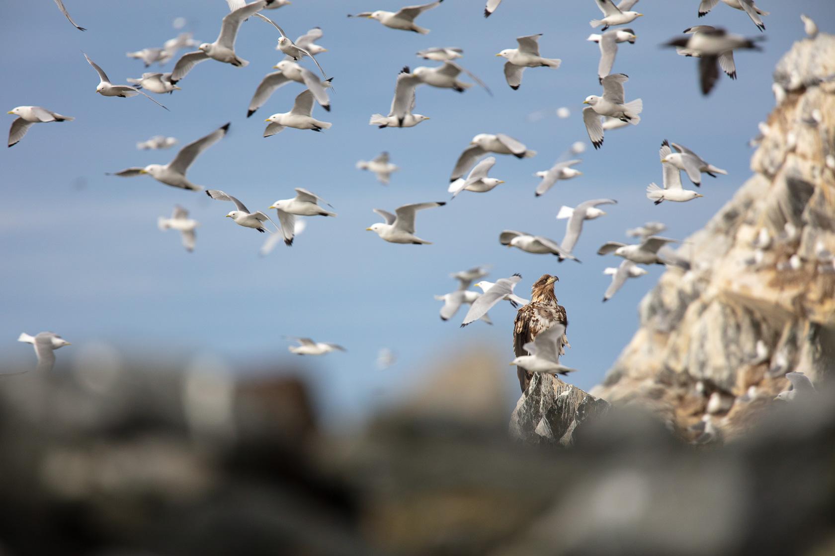 Pygargue à queue blanche subadulte dans une colonie de mouettes tridactyles, sur l'île d'Hornøya en Norvège