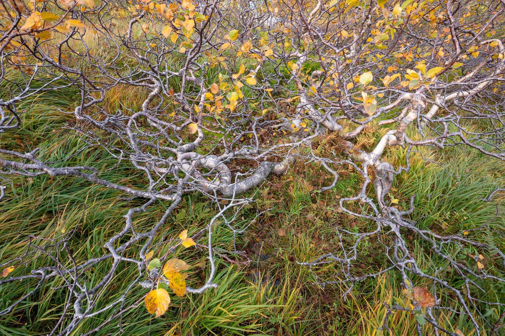 bouleau tortueux (Betula pubescent) sur l'île de Moskenes, dans les Lofoten